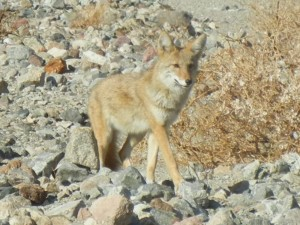 This Coyote was looking for hand outs in Death Valley.