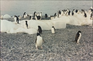 The Beautiful Adelie Penguins arriving on a beach.