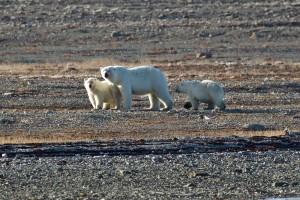 30.8.15 polar bear