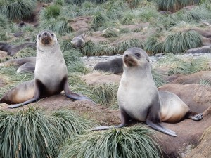 These are pups. But Fur Seals grow to 3 m long and weigh up to 317 kg and live 12-30 yrs